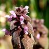 春の草花ーヒメオドリコソウ