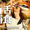 1216【モズ捕食】猛禽類チョウゲンボウの飛翔、ネズミモチがヒヨドリに食べられる。カワセミ構造色、カイツブリ潜水、ナンキンハゼとムクドリ。スズメ【 #今日撮り野鳥動画まとめ 】 #身近な生き物語