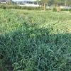 秋冬野菜の準備