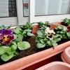 種から育てたパンジー苗30株の植え付け