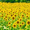 黄色の大絶景!花ひろばのひまわり畑・愛知県【写真】