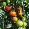 トマト収穫絶好調!!しかし。。