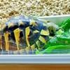 リクガメの餌 「サンチュ」