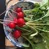 野菜が採れました