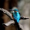 井頭公園の翡翠色の羽の綺麗なカワセミ