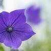 初夏から咲く秋の七草:キキョウ