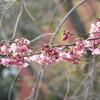今日の景色 03/19 桜・ミツマタ・猫