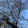 横浜の野毛山公園・大岡川の桜の実況!平成27年3月30日