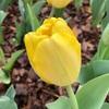 春爛漫 見事に満開なチューリップとヒヤシンスの庭園は長閑な春の光に満ちていて癒されました。
