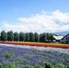 夏のひとり旅~北海道旅行計画「富良野編」とにかくラベンダー!オムカレーもあるよ!