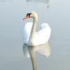 梅の助  千波湖で白鳥と至近距離!の巻