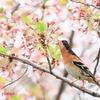 葉桜とアトリ