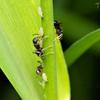 蟻とアブラムシ