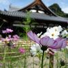 【おそとのええとこ】コスモス迷路で迷子になろう 【奈良-桜井市・安倍文殊院】