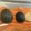 トウブドロガメ、'18子亀の成長5。