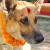 ネパールの犬も大満足!? ティハール2日目