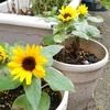 【花育】我が家の花育レポ。簡単に育てられる直播きの植物はコレだ!