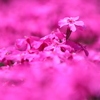 2018-第1回ソロツーリング「三島さん家の芝桜」