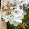 お花見季節4月の日曜日に京都観光してみた~金閣寺周辺~