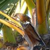 """ミャンマーで ⑧ """"ビルマ""""が名前に残る野鳥"""