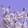 ネタが枯渇してきたので、立川で撮った桜他の写真などでも