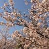 靱公園の桜  300331