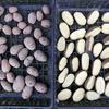 菜園:管理機を活用したジャガイモの植え付け