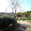 桜の木はスマートになった