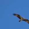 渡良瀬遊水地の野鳥 ミサゴ・オオジュリン他 2020年2月23日