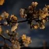 きよせさくらまつり2018(東京都清瀬市)で桜を鑑賞しました