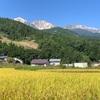 秋色の白馬村、黄金に染まった稲穂とコスモスが綺麗だよ(2019年9月)