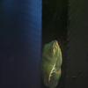アカメアマガエル Agalychnis callidryas