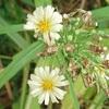 ホソバアキノノゲシ 『 生成りの花びら 』