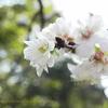 今咲いています!コブクザクラ Prunus Kobuku-zakura