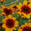 青山ハーブガーデンで見た植物⑧ ルドベキア