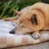 実家の老犬に悪性腫瘍が見つかった話。
