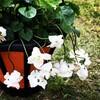 有毒植物②  スミレ(有毒部位:根茎、種子)