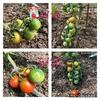 畑の野菜たちの成長記録−6月21日