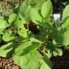 賢治のバラ・「グルス・アン・テプリッツ」も咲いて。