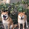 柴犬は皆同じに見える -  All Shiba Inus Look Alike