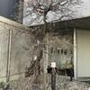 紅梅@好文画廊のその後ともうすぐの桜@浜町公園