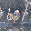 鳥撮り@新宿御苑でオシドリ、シロハラ