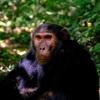犬や猫だけではない 類人猿もコロナと無関係ではないという専門家の指摘