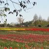 世羅高原農場の花畑風景NO,7(広島県世羅町)