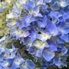 初夏の或る日の紫陽花添え