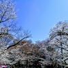 上野の桜、満開