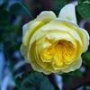 ザ・ピルグリムの開花 ThePilgrim