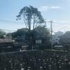 台風一過の谷中のヒマラヤ杉とみかどパン