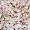 【桜吹雪 a shower of cherry blossoms like snowflakes... 】 ~ひとことつぶやき~ 日本より。。 (#確定申告が終わらない #埼玉県久喜市 #青毛堀の桜並木 #桜吹雪を英語にすると?)