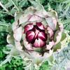 アーティチョークが咲いたよ。アーティチョークは見て良し、食べて良しの優秀植物!紫外線や毛穴悩みのこの時期に!
